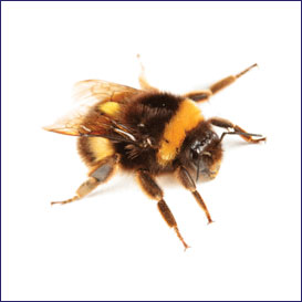 carpenter bees, abeille carpentière